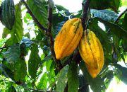 Grünes Gold - Kakaopflanzungen der Awajun / Foto: ideele revista