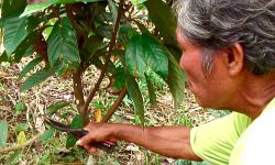 Pancho schneidet Kakaopflanze Foto: ideele revista