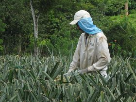 Arbeiter in einer Ananasplantage in Costa Rica / Shared Interest, flickr