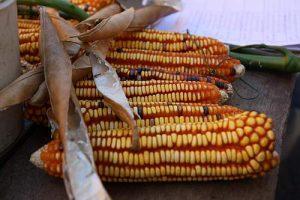 Mais auf dem Maisfest von Santa Gertrudis (Oaxaca) /Foto (Archiv), Bettina Hoyer