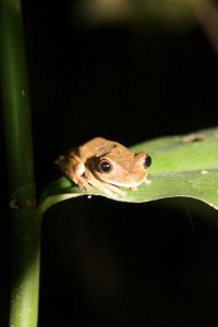 Baumfrosch, Madidi-Nationalpark