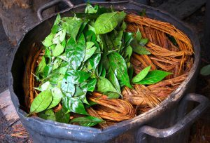 Ayahuasca. Psychodelische Wunderpflanze aus dem Amazonas-Gebiet.