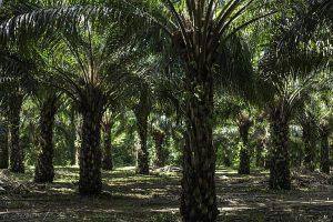 Ölpalmen-Plantage in Boca Chajul, im Lacandona-Urwald. Siap schätzt, dass 44 Prozent der Palmen in Chiapas im Urwald angebaut werden / Foto: Moysés Zúñiga Santiago, desinformemonos/ Mongabay
