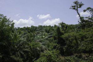 Ölpalmen-Plantage im Ejido Boca Chajul, im Lacandona-Urwald in Chiapas, in der Nähe der Grenze zu Guatemala / Foto: Moysés Zúñiga Santiago, Mongabay, desinformemonos