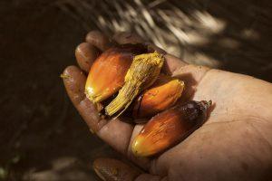 Die Früchte der Ölpalme. Die Früchte werden aufgebrochen und das Palmöl wird aus dem Fruchtfleisch herausgepresst / Foto: Moysés Zúñiga Santiago, Mongabay/desinformemonos
