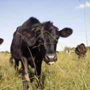 Wenn die Kuh kein Gras mehr frisst.