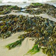 Algenmassen suchen Karibikküste heim