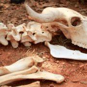Zehntausend Tiere sterben wegen Trockenheit
