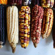 Bayer-Monsanto feiert das Gesetz zum Schutz des Einheimischen Mais