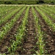 Einheimischer Mais: Das Gesetz und der Plan – der Plan und das Gesetz