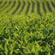 Schrittweises Aus für Genmais und Glyphosat