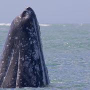 Rätselhaftes Sterben von Grauwalen