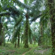 Studie über Vor- und Nachteile der Palmölproduktion